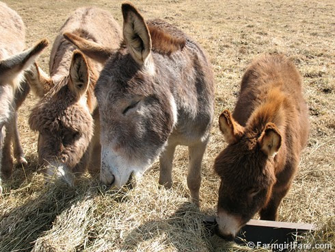 The Daily Donkey 124 - Happy for Hay