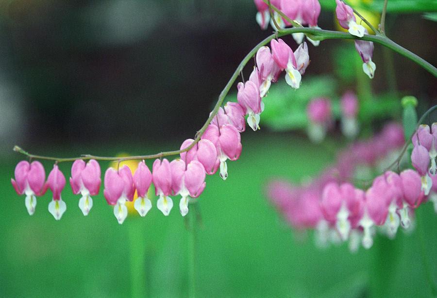 http://images.fineartamerica.com/images-medium-large-5/tear-drop-flowers-harold-e-mccray.jpg