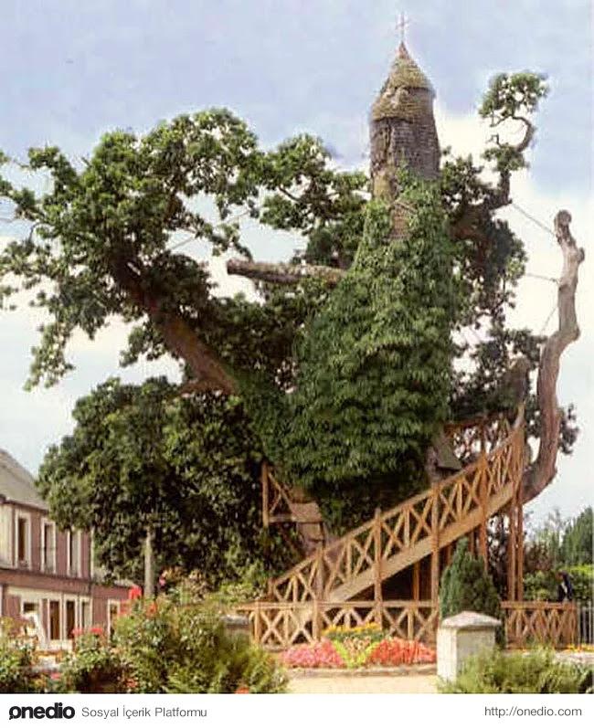 10. Allouville-Bellefosse Şapeli ve bir meşe ağacı iç içe büyümüşler.
