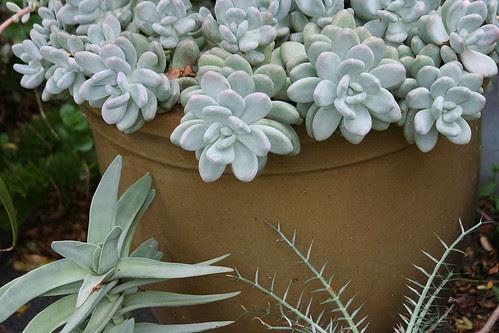 mystery succulent
