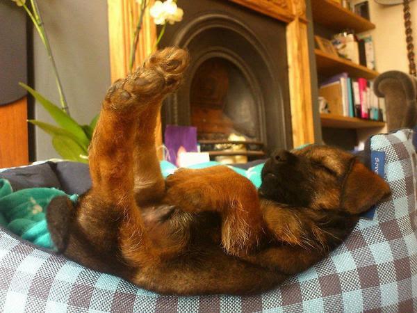 http://thebarkpost.com/30-dogs-awkwardly-sleeping/a-baa-funny-cute-sleeping-dog/