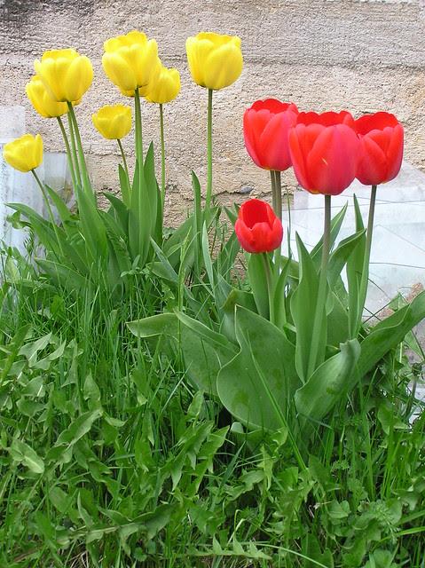 Tulips back in 2012