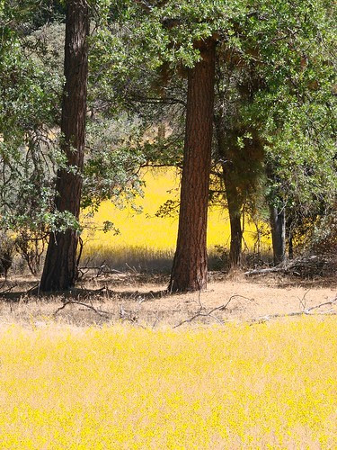yellow tarweed fields