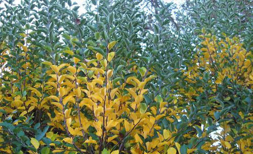 Apple tree yellow leaves