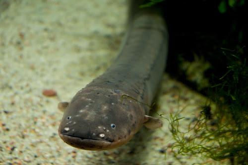 Eel (Anguilla)