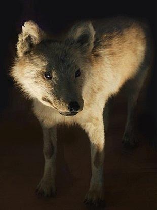 Hondo Wolf