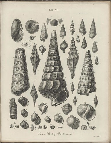 Eocene Shells of Bracklesham (Sussex fossils + geology)