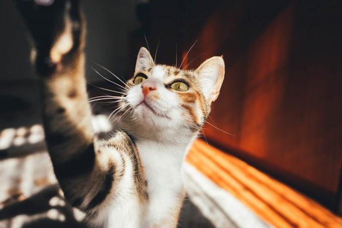 Razones para adoptar un gato: prepárate para encontrar el amor de tu vida