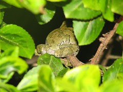 Tree frog booty