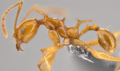 Pheidole viserion minor worker