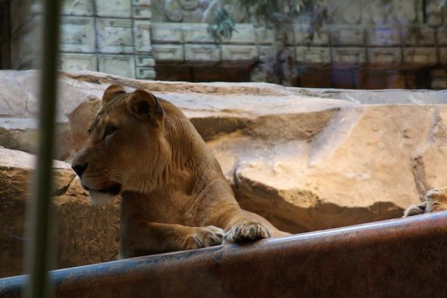 Lions, MGM Grand