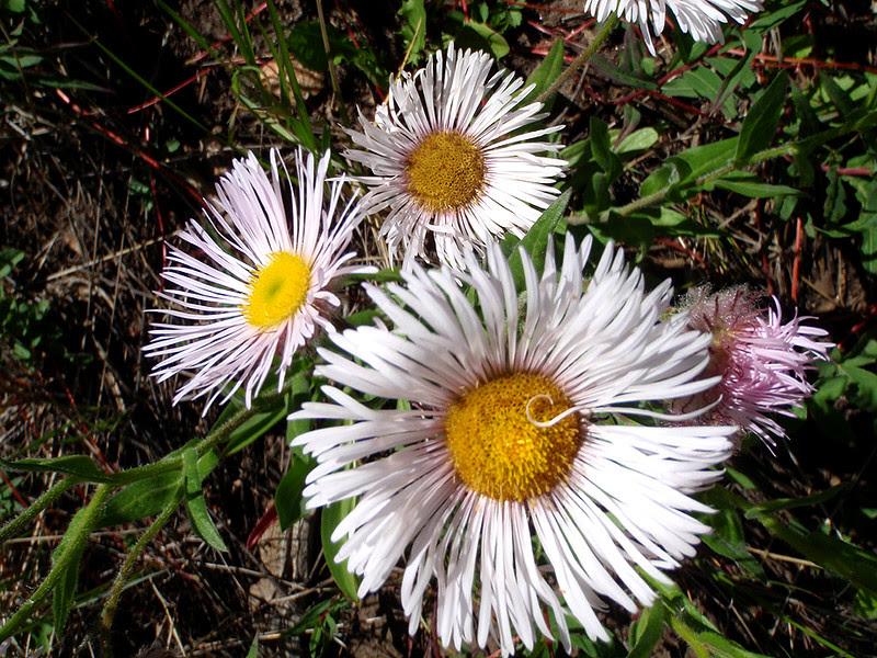 One-headed Daisy