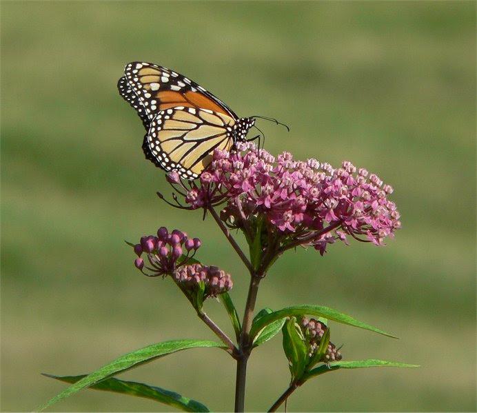 File:Swamp milkweed monarch.jpg