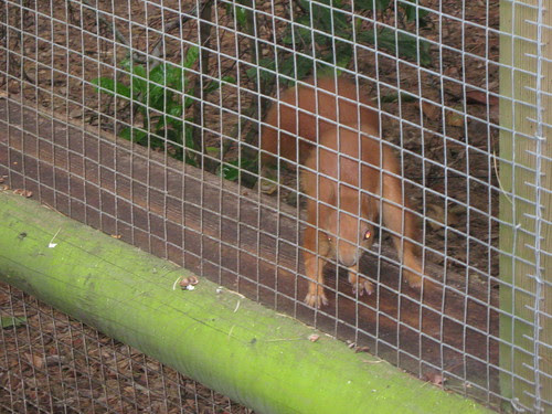 Red squirrel displaying