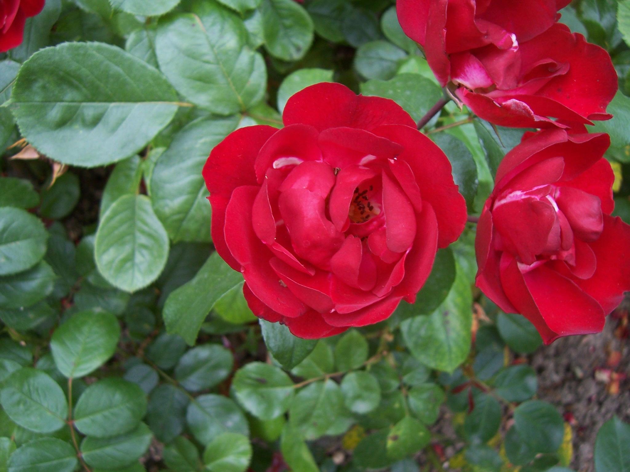 Photo de roses Centenaire de Lourdes rouges