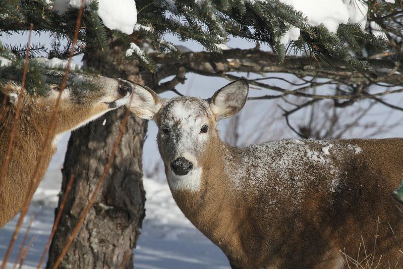 deer snowy