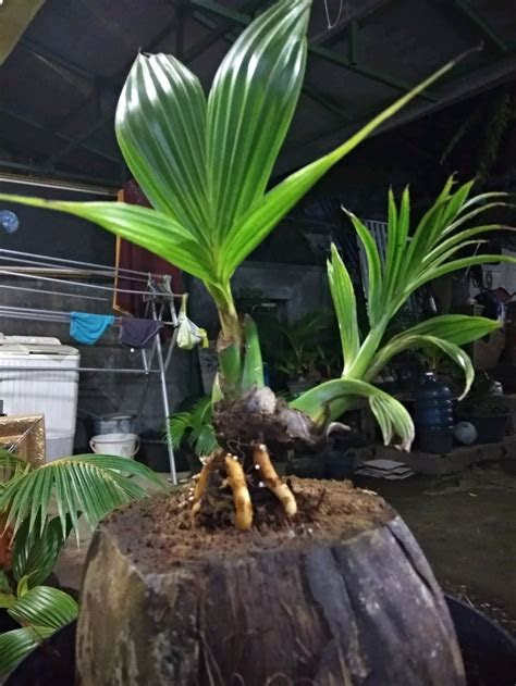 Bonsai Kelapa Gading Miring Blogger Bonsai