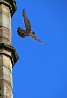 A Peregrine launches into the air from Derby Cathedral. Photo: J.Salloway