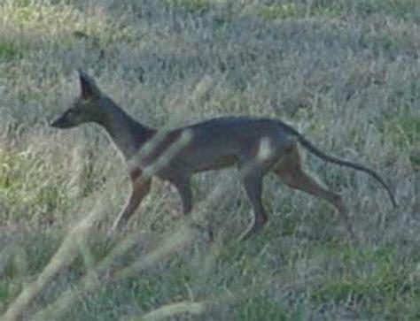 Samson fox   Natural History