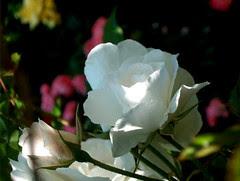 rose,17 juin 2005