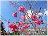 【谷關 - 松鶴部落】享受山林間的美味 - 東昌養鱒場(虹鱒、鱘龍魚、賞櫻)