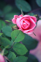 Roses: cross processing