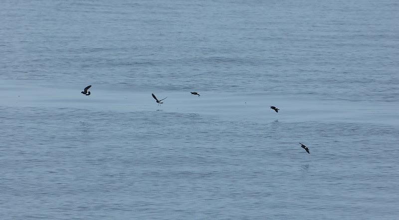 P1050487 - Storm Petrels, Isle of Mull