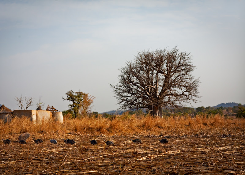 The March of the Guinea Fowls