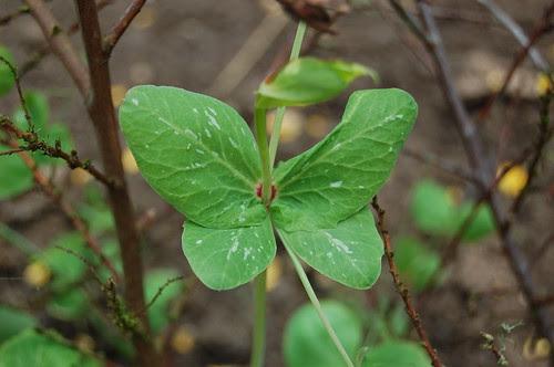 Pea leaf aberrations