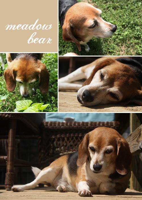 meadow-beagle copy