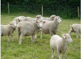 Bowmont ewes at pasture.