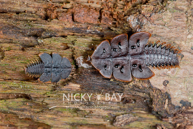 Trilobite Beetles (Platerodrilus ruficollis) - DSC_1800