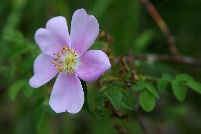 wild roses, whitaker ponds natural area