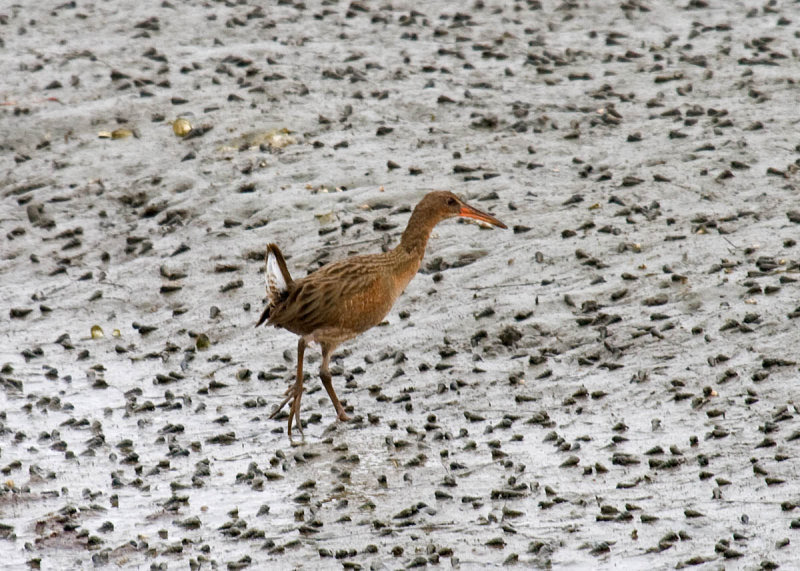 Clapper Rails in the West become Ridgway's Rail