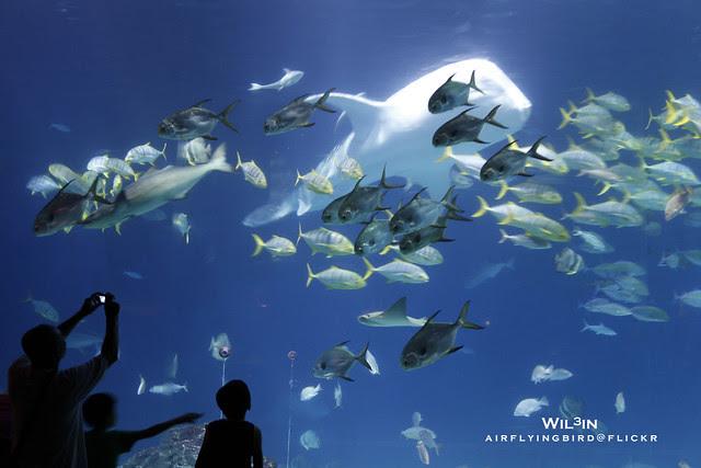 台灣海生館鯨鯊 (Whale shark @ Taiwan)