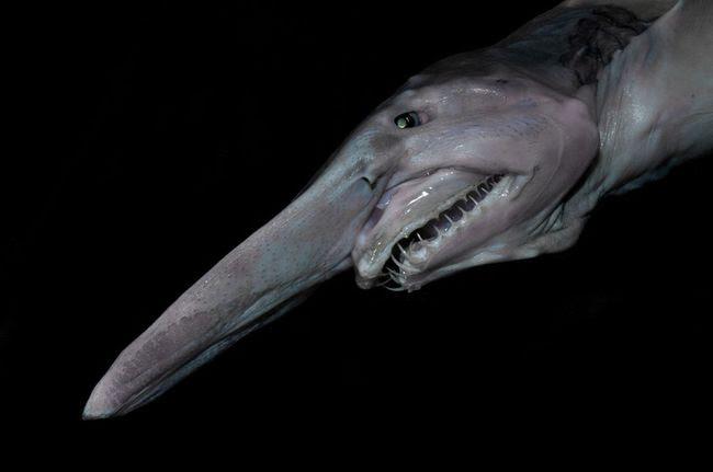 10.) Goblin Shark