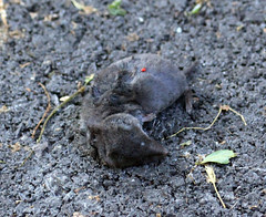 Shrew #2 killed by cat