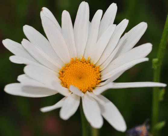 unblue Shasta daisy
