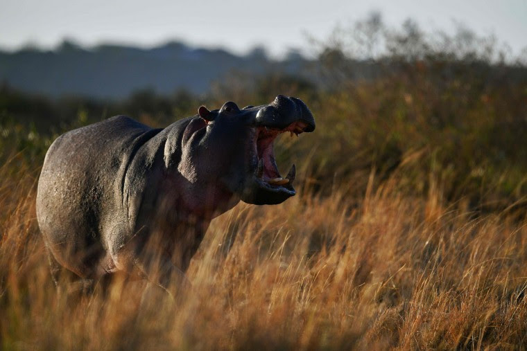 A hippo bares its teeth during the annual wildebeests migration in the Masai Mara game reserve on September 12, 2016. (Carl de Souza/AFP/Getty Images)