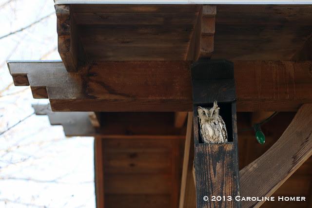 Eastern screech owl