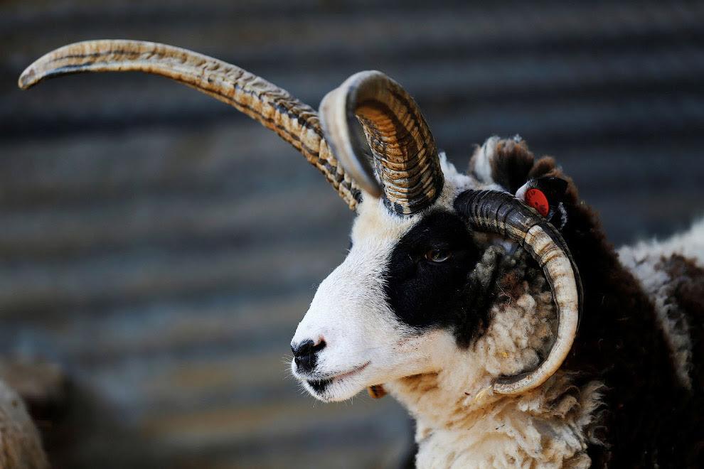 Ізраїльська модна овечка