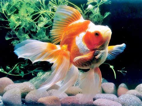 kumpulan  gambar ikan hias  indah