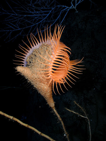 File:Actinoscyphia aurelia 1.jpg