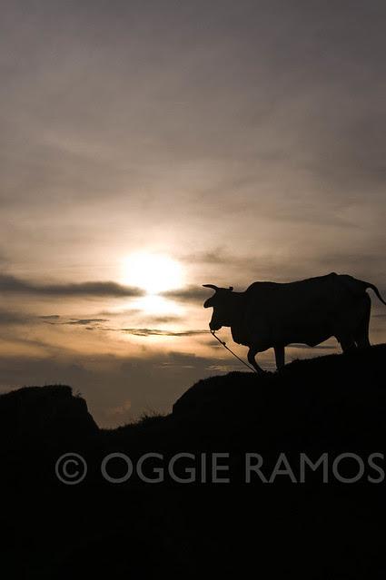 BP Batanes Viang Hills Cow Sunset