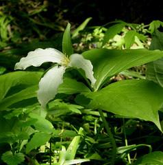 Flowers in my woods