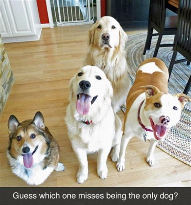 group of dogs, lots of dogs, guess which one misses being the only dog, golden retriever, sad golden retriever, golden do, mutt mix, corgi, dog funny