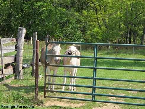Dolores and Daphne doing the donkey treat death stare (3) - FarmgirlFare.com