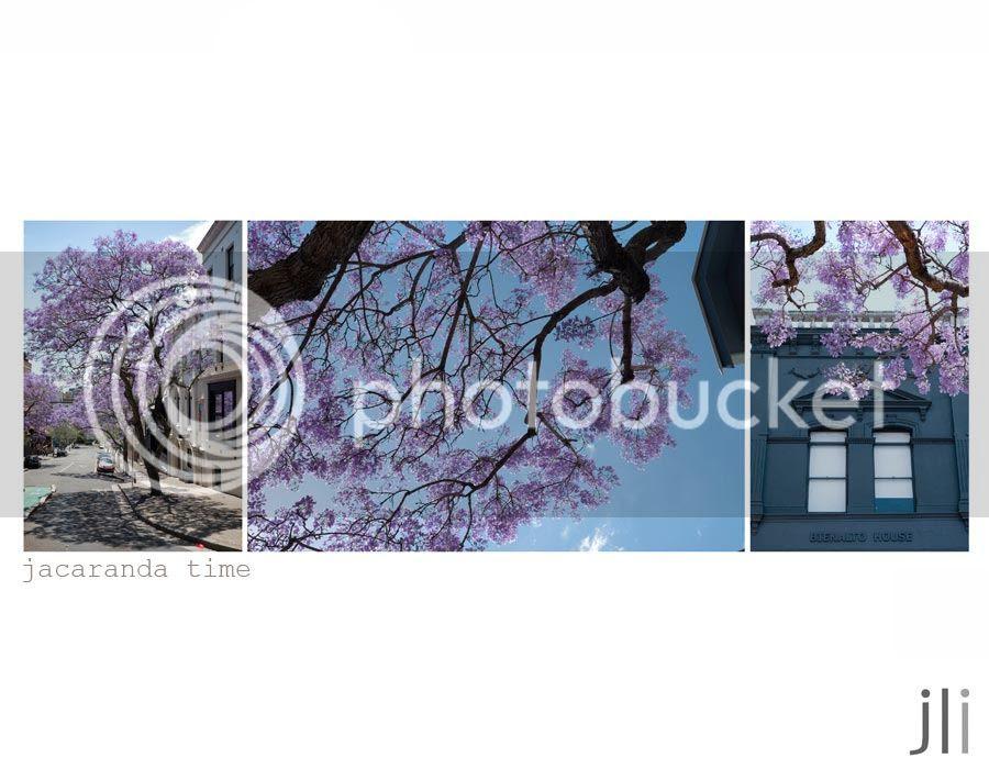 jacarandas photo blog-2_zps500f427f.jpg