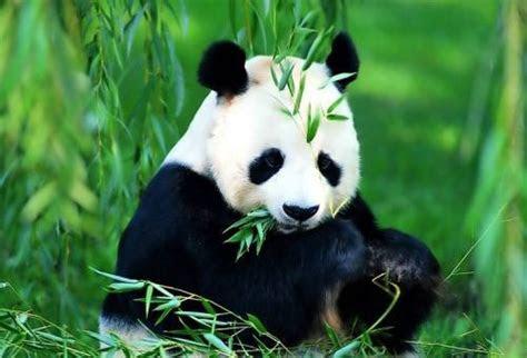 foto gambar panda lucu  lampu kecil