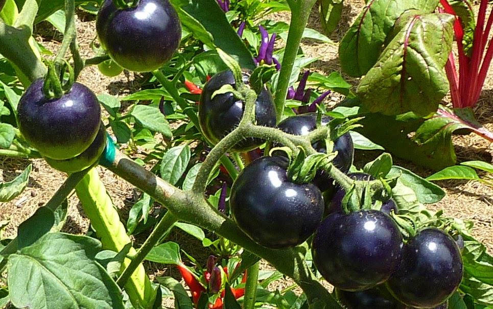 Cientistas desenvolvem tomates pretos que podem combater doenças
